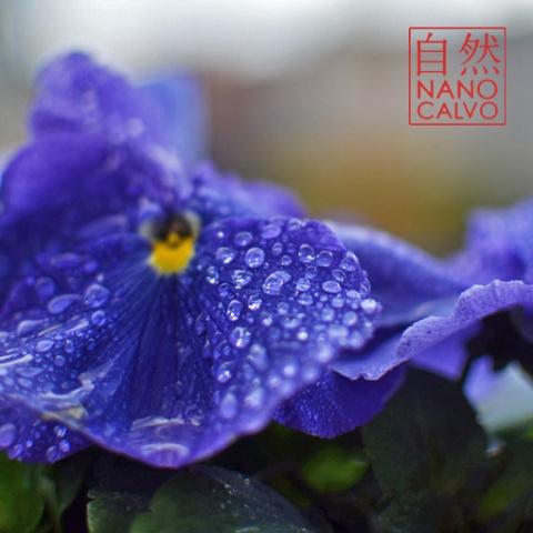 PurpleNanoCalvo
