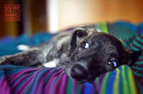 GreyhoundNanoCalvo