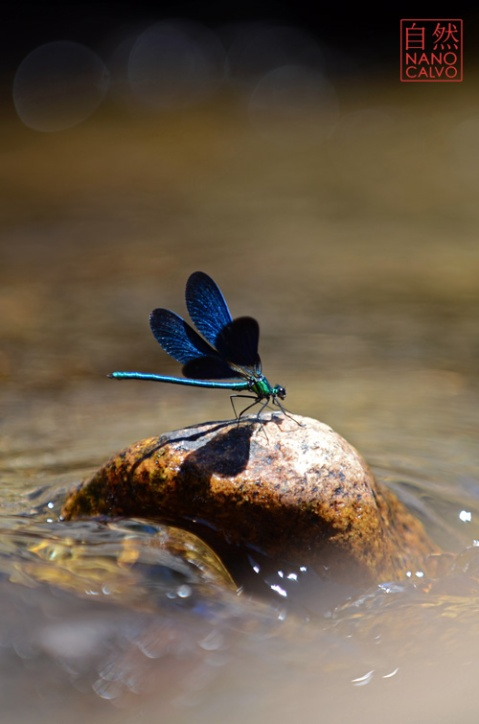 Blue dragonfly in Braojos River, Sierra de Madrid